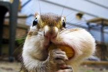Chipmunk stuffing peanut in its mouth - from Buzzfeed.com